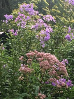 Moving into fall, Joe Pye Weed and the last of the summer phlox.